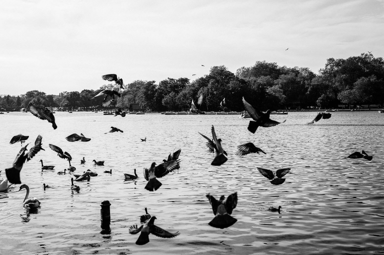 black and white photos of pigeons flying